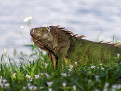 Molting Green Iguana in Grass By Lake - stock photo