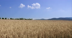 Wheat Field Landscape Slowly Waving In The Spring Breeze Stock Footage