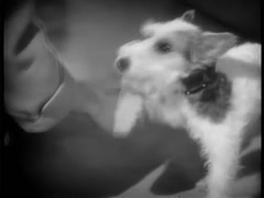 Man shaking wirehaired terrier's paw, 1930s - stock footage
