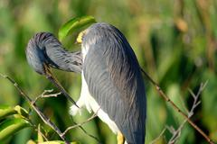 Tricolored Heron Preening - stock photo