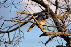 Ruffled Blue Jay In a Tree with Head Cocked - stock photo