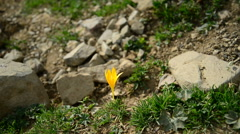 Yellow crocus flower in mountain Stock Footage
