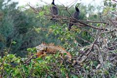 Male Green Iguana with Breeding Colors in Tree - stock photo