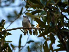 Blue-gray Gnatcatcher on Tree Branch - stock photo