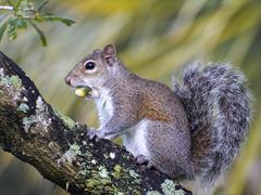 Funny Squirrel Acorn Stuffed in Mouth Stock Photos