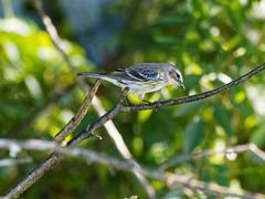 Yellow-rumped Warbler on a Tree Branch Stock Photos