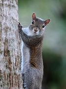 I See You Eye Contact with Squirrel - stock photo