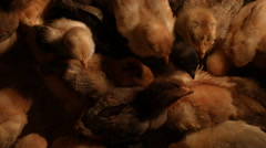 A group of baby chickens feeding in an enclosed space, chicks in slow motion Stock Footage