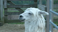 A llama in a wooden pen on a farm, shot in slow motion - stock footage
