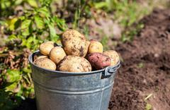 A bucket of potatoes new harvesting in the garden closeup Stock Photos