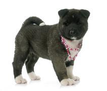 Puppy american akita Stock Photos