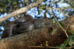 Pair of Mating Eastern Gray Squirrels Stock Photos