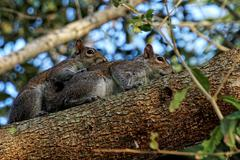 Pair of Mating Eastern Gray Squirrels - stock photo