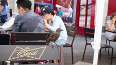 Thrush sitting on a chair with inscription Bud, King of beers at an cafe Stock Footage