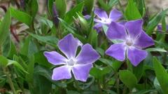 Periwinkle flowers, flowering spring Stock Footage