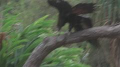 Wedge-tailed eagle Ungraded Log Style Stock Footage