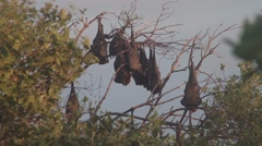 Flying Foxes hanging around in Yeppoon ungraded filmed in log style Stock Footage