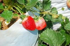 Fresh strawberry with green leaves in farm at Chiangmai, Northern thailand. - stock photo