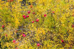 Pomegranate fruits on tree in autumn garden, Cyprus - stock photo