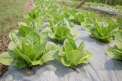 Organic vegetable growing in farm - stock photo