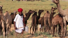 Stock Video Footage of Men and herd camels attended the annual Pushkar Camel Mela , India