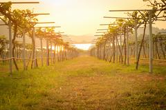 Vineyard at sunset in countryside. - stock photo