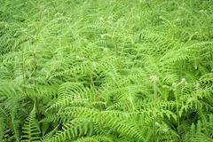 Fresh green fern leaves in background. - stock photo