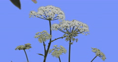 Apiaceae Plant on Blue Screen Green Leaves Grass Plants on a Dry Stalks Are Stock Footage