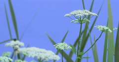 Apiaceae and Grass Blades on Blue Screen Green Leaves Grass Plants on a Dry Stock Footage