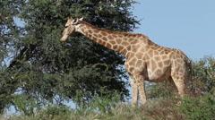 Feeding giraffe, wildlife safari, Kalahari, South Africa - stock footage