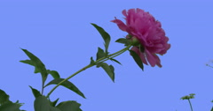 Single Pink Peony Flower Head on Blue Screen Green Leaves Grass Blooming Stock Footage