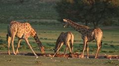 Giraffes drinking water, wildlife safari, Kalahari, South Africa Stock Footage