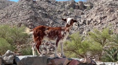 Goat. Oman, Musandam, Gulf of Oman, ancient Village of Haffa Stock Footage