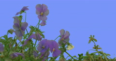 Violet Viola Tricolor Flower Green Leaves Grass on Blue Screen Plants Violets Stock Footage