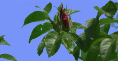 Two Violet Buds of Rose Bush on Blue Screen Green Oval Leaves Bush is Swaying Stock Footage