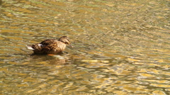 Ducklings Swimming In The Pond in the city, Slow-motion footage Stock Footage