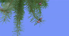 Pine Branch Young Tree Grows Green Needle-Like Leaves Small Cones Branch is Stock Footage