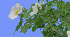 White Flowers Buds of Blooming Rose Bush Green Oval Leaves Bush is Swaying at Stock Footage