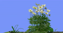 Water Crowfoots on a Lawn Wild Flowers on Blue Screen Sunny Summer Day Field Stock Footage