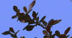 Fluttering Barberry Concorde Branch Purple Shrub Dwarf Globe Shaped Shrub With Stock Footage