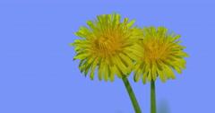 Two Dandelions Bright Yellow Flowers Field Grass Wild Flowers on Blue Screen Stock Footage