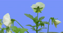 White Flowers Few Viola Tricolor Flower Green Leaves Grass on Blue Screen Stock Footage