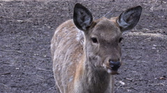 Close-up View of Deer in the Park Stock Footage