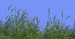 Ears Spikes Weeds Green Grass Leaves Plants Grow Thin Green Young Stalks Are Stock Footage
