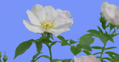 Fluttering White Flower of Blooming Rose Bush Yellow Stamens in a Middle of the Stock Footage