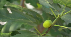 Green Fig Growing on the Branch - stock footage