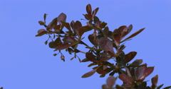 Branch of Barberry Concorde Purple Shrub Dwarf Globe Shaped Shrub With Deep Stock Footage
