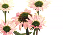Echinacea Flower Time-lapse - stock footage