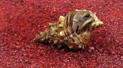 Hermit crab comes out of the shell on the beautiful red coral sand. Stock Footage