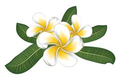 White plumeria with leaves - stock illustration